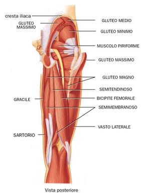 Anatomia dei  muscoli flessori della coscia